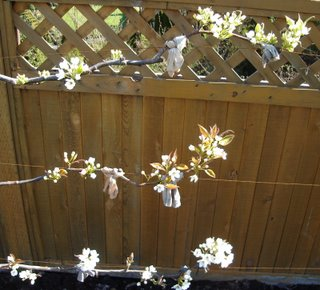 espaliered asian pear in blossom