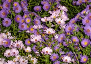 fall blooming asters