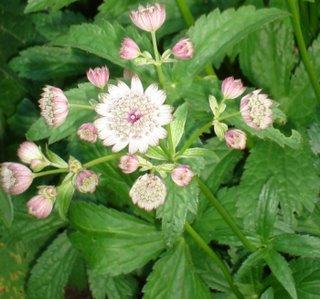 astrantia major (Masterwort) flower