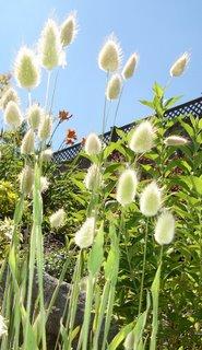 lagarus ovatus (bunny tail grass)