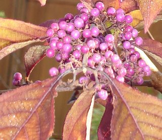 callicarpa in early fall