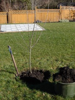 Replacement rainier cherry tree
