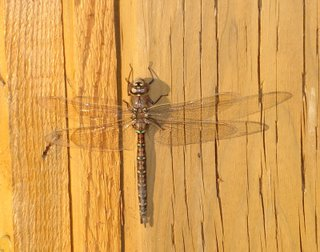 dragonfly resting on fence in evening