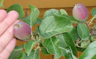 espalier apple in early June