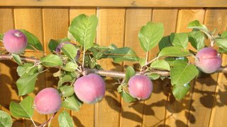 Closeup of apples on espalier tree