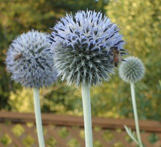 globe thistle (echinops) with bees
