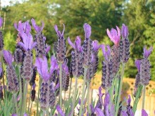 lavendula stoechas (Spanish lavender)