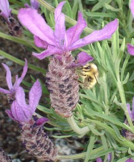lavendula stoechas with bee