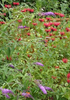 monarda and buddleia (butterfly bush)