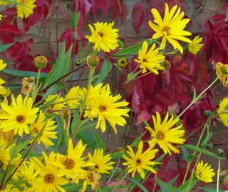 perennial sunflower and virginia creeper