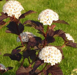 physocarpus opulifolius (diablo ninebark) in flower