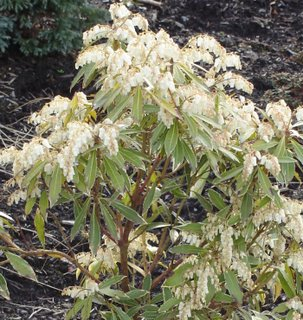 Variegated pieris japonica
