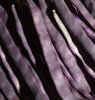 Purple Peacock pole beans closeup