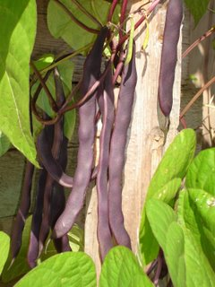 Purple Peacock bean on the vine