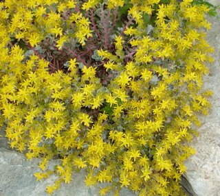 sedum spathulifolium with yellow flowers in rock crevice