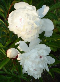 white herbaceous peony