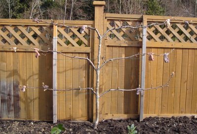 Espalier form asian pear tree