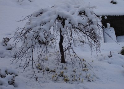Japanese maple under snow in March