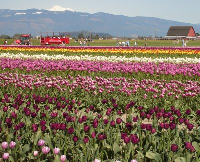 Tulips and tractor ride at Skagit Valley Tulip Festival