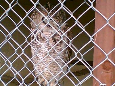 An owl behind bars,