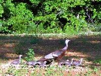 turkey hen and chicks