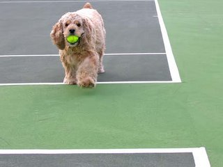 spaniel with ball