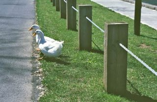 ducks at side of road