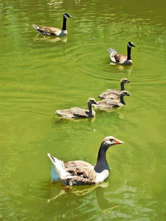 goose flotilla