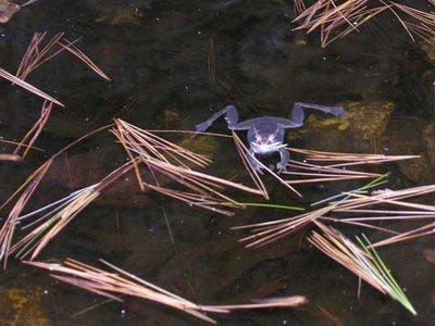 frog floating