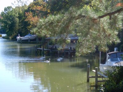 swans at wetherall creek