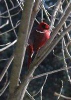 Cardinal in lilac bush 1