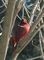 Cardinal in lylac bush 2