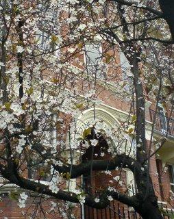 A tree buds in London