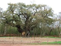 Sherwood Forest's Major Oak