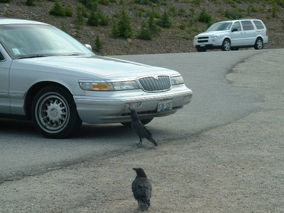 ravens attacking a car in Banff National Park