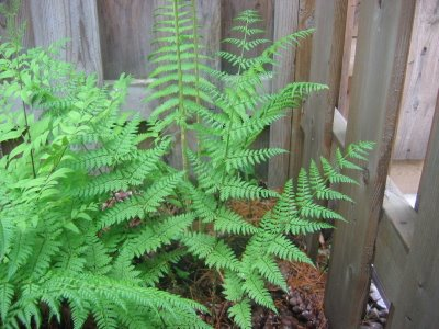 Spinulose sheild fern