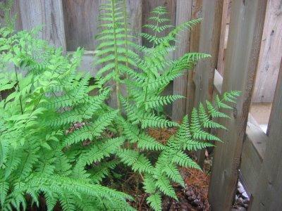 Spinulose sheild fern