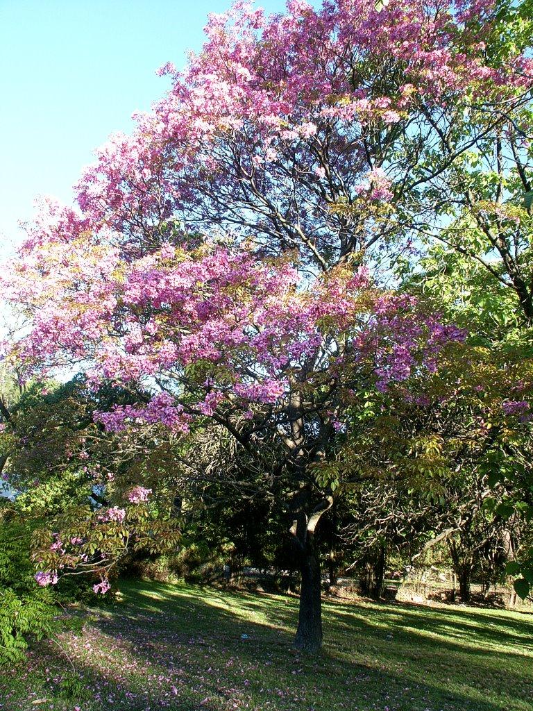 Pink trumpet tree / Lapacho (Tabebuia - 396.2KB