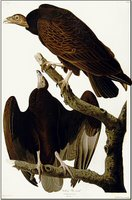 Audubon's buzzards