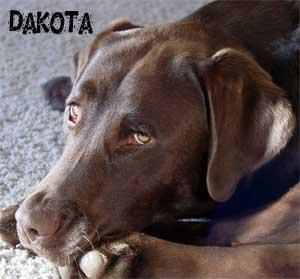Chocolate Labrador Retriever Female - Dakota