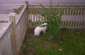 Buddy sniffing the fence