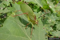 A katydid on a leaf