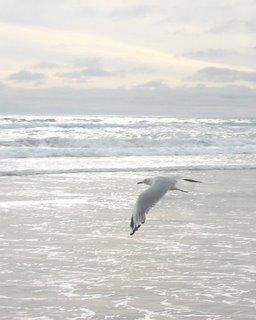 Silver Gull : Larus novaehollandiae