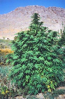 Cannabis A History 2004 Martin Booth Paperback Book Weed Pot Marijuana Rare Vtg