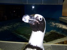 Agulhas is an Odd Duck of a Penguin