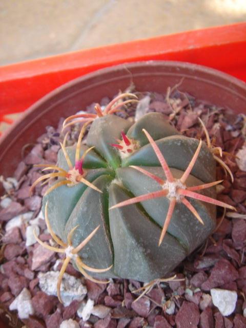 Cactus ferocactus for Feroxcactus chile