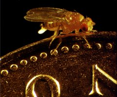 Female Drosophila Lays an Egg on a Penny
