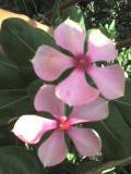 gardening periwinkle sadabahar flower perpet pearpet garden tips
