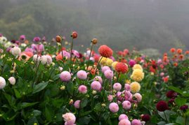 Fog and Flowers