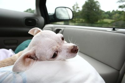 chihuahua in car
